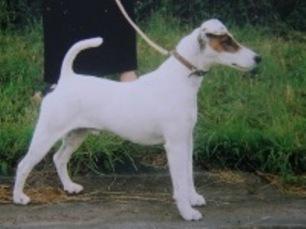 Tamedale Juninho foksterier krótkowłosy pies