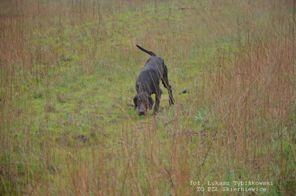 praca psa w polu