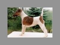foksterier krótkowłosy Conny Canis Venator