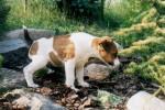 szczeniak foksterier bawi się wśród kamieni w lesie