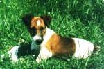foksterier krótkowłosy w rude łaty wypoczywa na trawie